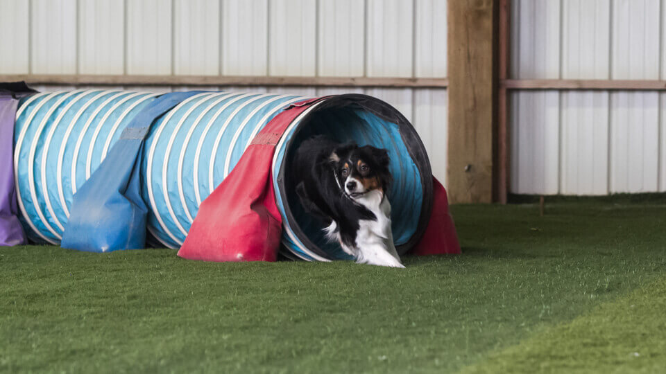 A dog running through a tunnel in agility class